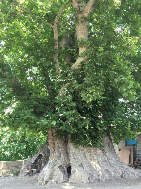 درخت 700 ساله در بخش کجور ثبت ملی شد